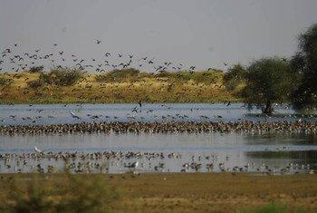Des oiseaux migrateurs au Soudan. Photo FAO/ONCFS