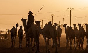 Un berger et ses chameaux sur la route en direction de Tahoua, au Niger, à la tombée du jour.