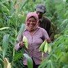 مزارعة تجني محصول الذرة في كامبونج تشام، كمبوديا.
