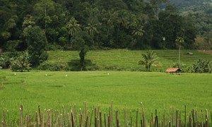 Growing rice in terraced fields. Sri Lanka.