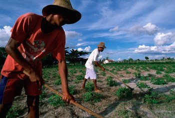 Rural laborers tending to manioc crop in Bahia State in Brazil's parched Northeast.