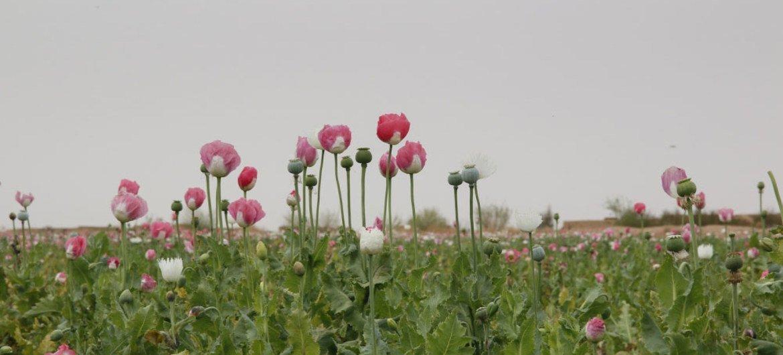 Record high opium production in afghanistan creates multiple irin mightylinksfo
