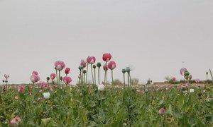 Opium poppy field in Afghanistan.