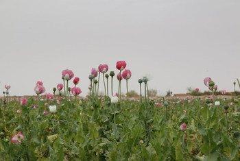 Un champ d'opium en Afghanistan