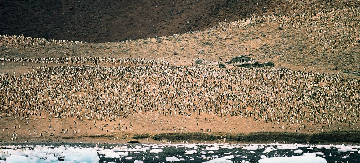 In the Ross Sea region of Antarctica, the Adélie penguins have been observed to travel an average of 13,000 kilometres during the year from their breeding to their winter foraging grounds.