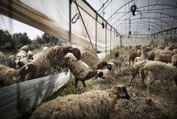 Peste des petits ruminants (PPR) – also known as sheep and goat plague – has spread to some 70 countries in Africa, the Middle East and Asia, causing annual damage estimated at $1.4 to $2.1 billion.
