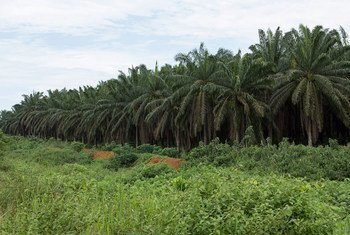 Industrial-scale oil palm plantation, Cameroon.