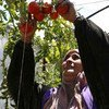Syrian farmers in the country's western coastal governorate of Tartous revive tomato harvest with support from WFP and FAO.