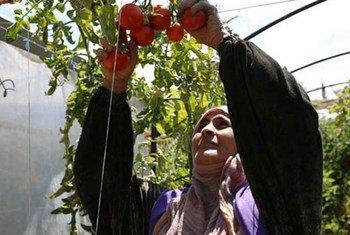 المزارعون السوريون في محافظة طرطوس يحصلون على دعم من برنامج الأغذية العالمي ومنظمة الأغذية والزراعة