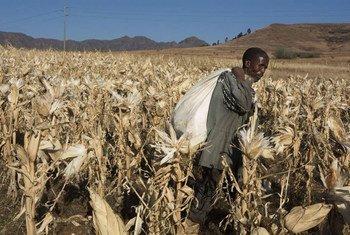 Un agriculteur cultive du maïs au Lesotho (archives).