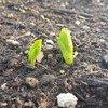 زراعة الفول في مقر  منظمة الفاو في روما. المصدر: الفاو/ كلوديا نقولا