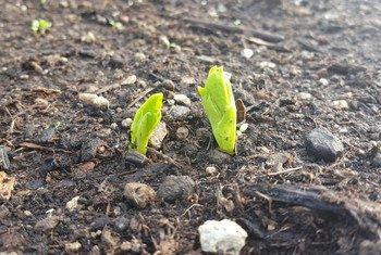 Des pousses de fèves. Photo FAO/Claudia Nicola