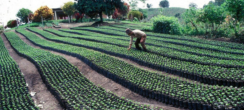 Plantación de Café. Foto: FAO