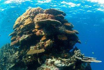 Si les tendances actuelles se poursuivent, 99% des récifs coralliens mondiaux subiront un blanchiment sévère au cours du siècle.