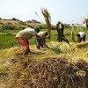 Farmers beat rice to release grains near the village of Kamangu, Democratic Republic of the Congo.