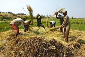 Des agriculteurs battent le riz pour libérer les grains, près du village de Kamangu, en République démocratique du Congo (photo d'archives).