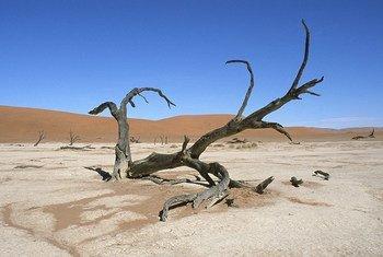 A fallen tree in Namibia's Namib desert.