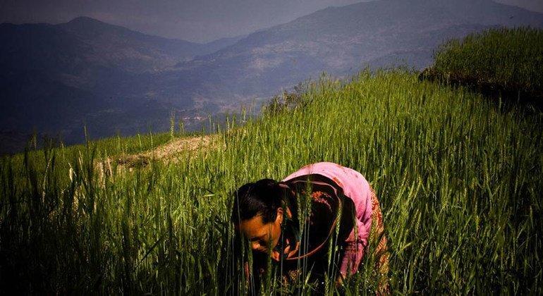 La guía de la FAO busca ayudar a los responsables de políticas, gestores de programas y agricultores es a seguir prácticas más sostenible y productivas. Foto: FAO/Saliendra Kharel
