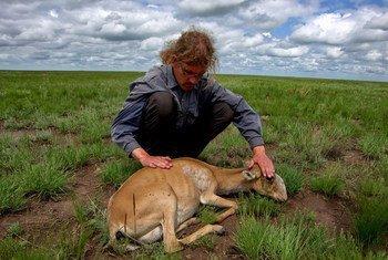 蒙古国野生塞加羚羊大规模死亡  联合国希望到2030年根除瘟疫。