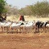 Los agricultores y granjeros del Cuerno de África sufren debido a la sequía. Foto: FAO/Simon Maina