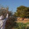 A espécie dos gafanhotos do deserto tem chifres curtos que podem formar grandes enxames e ameaçar as produções agrícolas.