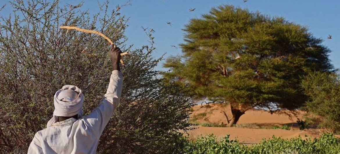A man beating a bush with a stick to show desert locusts swarming near Fada, Chad. FAO toolbox shows how prevention, early warning and preparedness can help control desert locust and other transboundary threats.