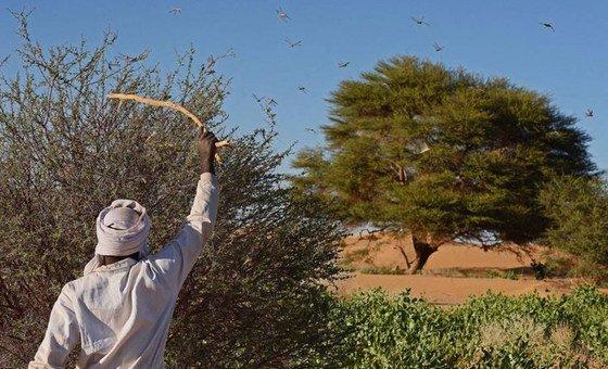 FAO quer aumentar as operações intensivas de controle dos gafanhotos do deserto.
