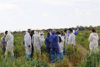 Wheat experts examine a research plot near Izmir, Turkey, affected by wheat yellow rust.