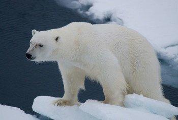 Oso polar en el archipiélago noruego de Svalbard. Foto: PNUMA  UNEP GRID Arendal/Peter Prokosch