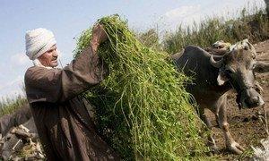 An Egyptian farmer feeding cows fresh fodder.