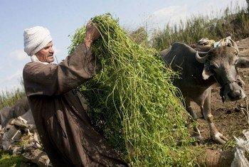 Жители Северной Африки и Ближнего Востока ощущают нехватку продовольствия и воды  Фото ФАО/Джулио Наполитано