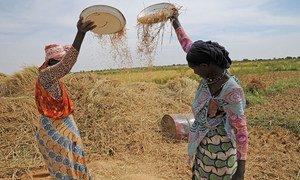 Two women farmers winnow rice on a farm in Mauritania.