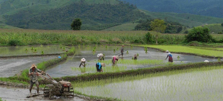 Tending paddy fields in Laos.