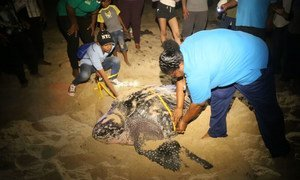 Ms. Lakhan Baptiste (right), with the organization Nature Seekers, gets help measuring a leatherback turtle that has just laid her eggs on Matura Beach. The group has become a model for conservation efforts in the Caribbean region.