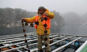 Shigeatsu Hatakeyama picks up oysters on a farm raft.