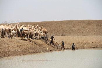 Des éleveurs recueillent de l'eau avec des chameaux à un point d'eau dans le village de Bandarero, affecté par la sécheresse, au Kenya. Photo Rita Maingi/OCHA