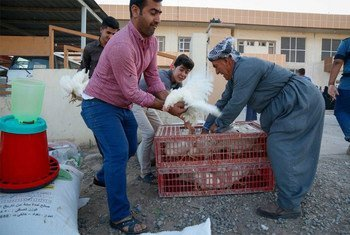 Supporting Iraqi families with hens for egg production and meat.