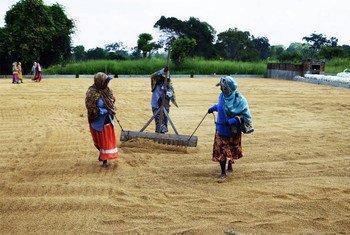 Rice drying in Sri Lanka, March 2017.