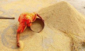 Une agricultrice collecte du riz après une récolte à Sundorgonj, à Gaibanda, au Bangladesh.