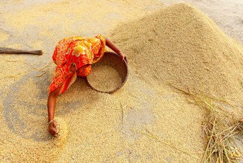 A farmer collects rice after a harvest in Sundorgonj, Gaibanda, Bangladesh.