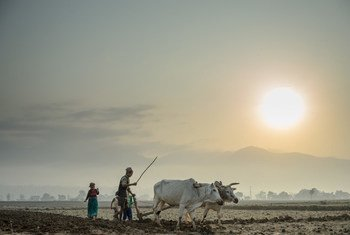 A farmer and his wife use a pair of oxen to plough their field in Surkhet district, western Nepal.
