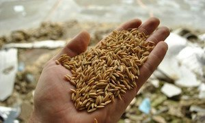 Rice. Arsenic – an odourless and tasteless semi-metal that occurs naturally in rock and soil – enters the food chain mainly through crops absorbing contaminated irrigation water.