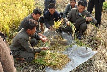 La production alimentaire en République démocratique populaire de Corée - le riz, le maïs, la pomme de terre et le soja - a été gravement endommagée par une sécheresse prolongée. Photo: FAO / Cristina Coslet
