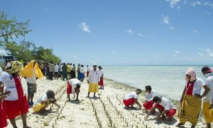 Mangrove shoots being planted on Tarawa, an atoll in the Pacific island nation of Kiribati to protect against coastal erosion.
