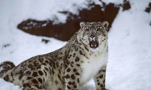 A Snow Leopard at New York City's Bronx Zoo.