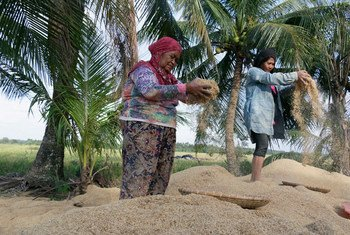菲律宾农妇在筛米。粮农组织图片/Joseph Agcaoili