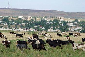 Du bétail broutant de l'herbe dans un champ, près d'un village au Kazakhstan.