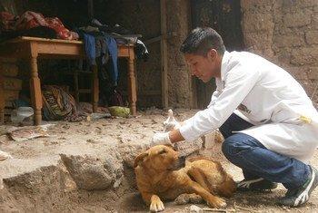 Veterinarian vaccinating a street dog.