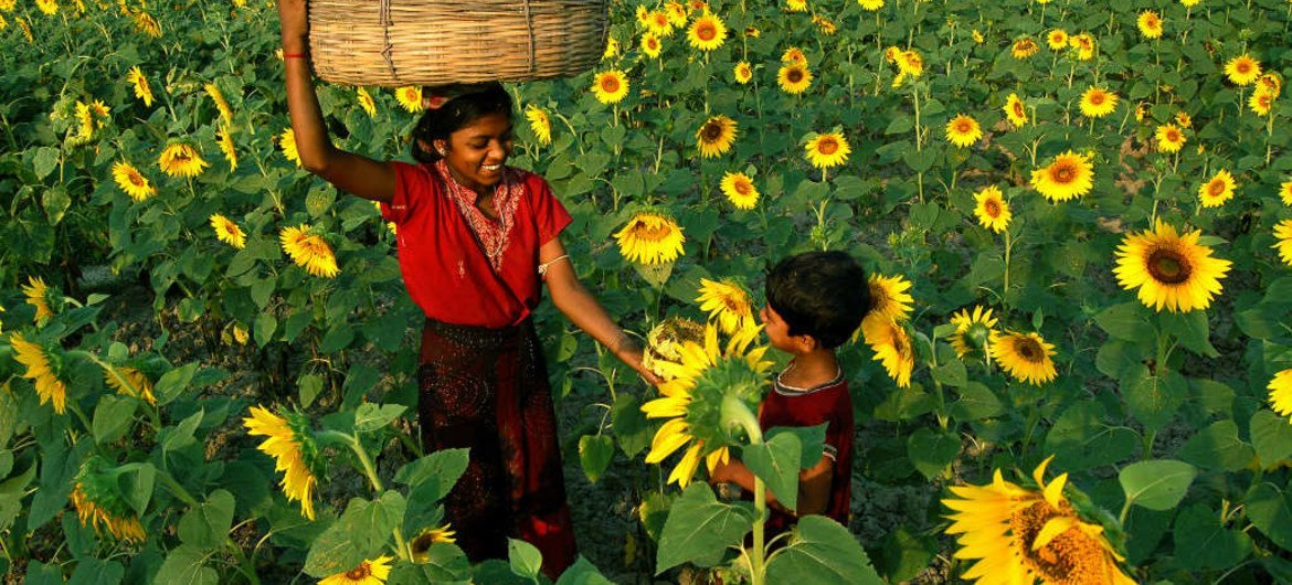 Children in Gourdaha, West Bengal, India, collect sunflowers from which to extract the seeds for production of sunflower oil.