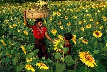 En Inde, des enfants ramassent des tournesols. De l'huile sera extraite de leurs graines (photo d'archives).